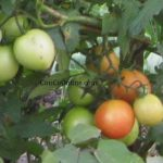 The secret of growing a tomato tree with a homemade tomato cage