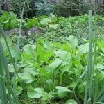 Cải ngọt đầy vườn ở Mỹ | Enjoy green yu choy in my backyard
