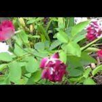 Cây bông hồng hai màu | Two color rose tree