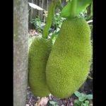 Cây mít cho hai trái lần đầu | Giving fruits for the first time (Jackfruit)