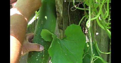 Hái bí đao ở Mỹ nè | Harvesting gourds in USA