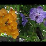 Hoa phong lan tím, vàng, vàng đậm