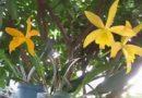 Hoa phong lan vàng vàng | Golden yellow orchids in the backyard