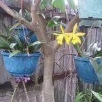 Hoa phong lan vàng | Yellow orchid flowers