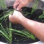 Học trồng hành | Growing your own scallions (P3)