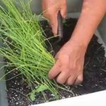 Học trồng hành | Growing your own scallions (P2)