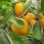 Hồng chín đầy cây | Ready to rip persimmon fruits