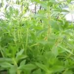 Rau om | Rice Paddy Herb