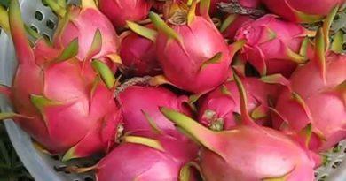 Thanh long Mỹ ra sao | USA dragon fruits