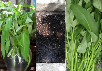 Trồng rau muống trong thùng sốp từng bước một | Step by step growing ong choy in a container
