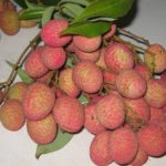 Vải trái ai ai cũng muốn trồng | No way seeing another lychee likes this