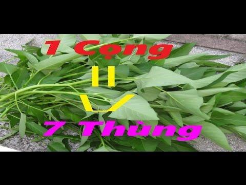 Một (1) cọng rau muống đẻ ra năm (5) thùng