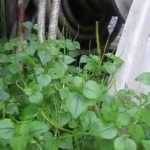 Nature Vegetable: Clearweed | Peperomia Pellucida | Pepper Elder | Shining Bush Plant | Rau Cang Cua