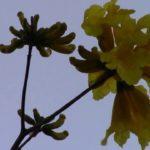 Florida Golden Trumpet Flowers