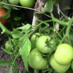 The secret of growing a tomato tree without tomato cage