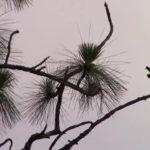 A Bird On A Pine Tree Seeking For A Friend In A Florida Neighborhood