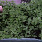 Harvesting Mints - Herb in a Container