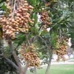 LONGAN Fruit Tree & Fruits in Central Florida Orlando (unbelievable)