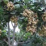 Longan in Orlando, Florida (Unbelievable Fruit Tree)