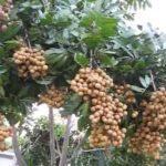 Longan Tree & Fruits 2016 Orlando Florida
