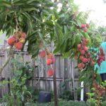 Lychee in Orlando, Florida (Unbelievable Fruit Tree)