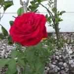 Bong Hong - Roses (Red Flowers)
