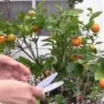 Hai Tac/Hai Quat - Harvesting Calamondin Fruits 2020 Jan 10